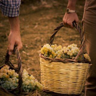 Una passione di famiglia che si tramanda da quattro generazioni. 👨👩👧👦 . Termina oggi la nostra vendemmia a Marsala, siamo pronti per cominciare a raccogliere i frutti sull'Etna 🍇 🌋 . . 🍷Vini 🌊 mari 🌋 vulcani _______________________________ www.marchesedellesaline.com . #harvest #vendemmia #marsala #grapes #family #italy #wine #vino #winelover #winery #winelovers #instawine #vinho #vin #whitewine #winestagram #winecountry #wein #winelife #winegeek #winemaker #naturalwine #vinoitaliano #etnawine #italianwines #summer #summer2020 #etna #etnarosso