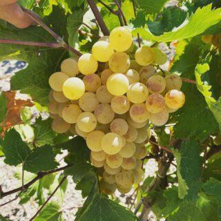 Nutriamo un amore ed un rispetto profondo per le nostre vigne ottenendo in cambio uve biologiche di alta qualità, la base per degli ottimi vini.🍷 . Inizia la vendemmia a Marsala in ordine del Moscato, Grillo, Catarratto, Zibibbo, Frappato e Nero D'Avola. . Buona Vendemmia cari #winelovers 🍇❤️ . . 🍷Vini 🌊 mari 🌋 vulcani _______________________________ www.marchesedellesaline.com . . #instagood #photooftheday #harvest #grapes #instafood #italy #wine #vino #winelover #winery #winelovers #instawine #vinho #vin #whitewine #winestagram #winecountry #wein #winelife #winegeek #winemaker #naturalwine #vinoitaliano #marsala #italianwines #summer #estate #grillo