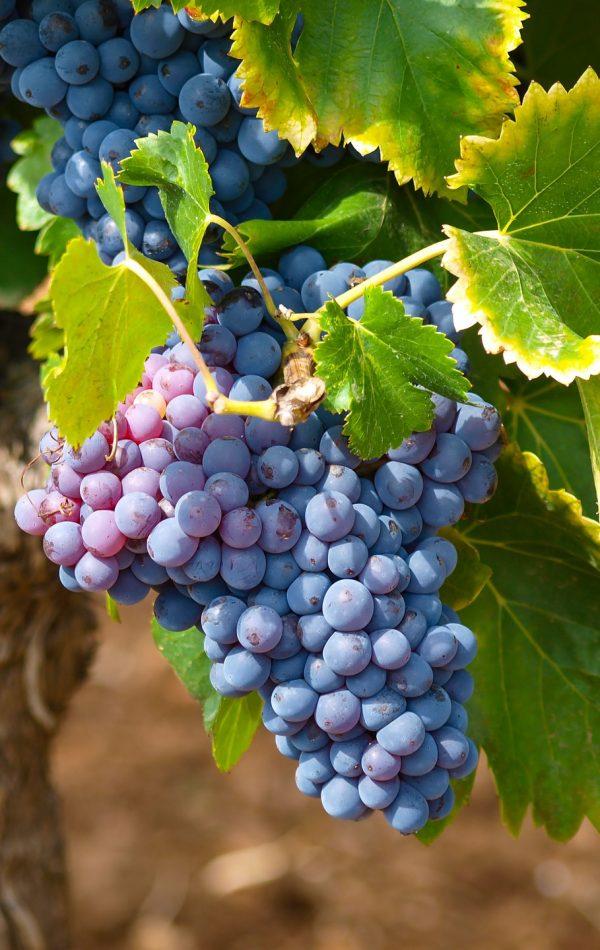 vines-1747224_1920